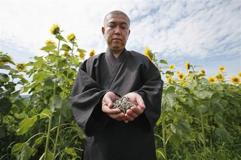 MONJES BUDHISTAS PLANTAN EN FUKUSHIMA 8 MILLONES DE GIRASOLES CONTRA LA RADIACION
